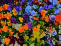 Pansies - flowers a microcosm of the beauty and genius of creation � not chance!