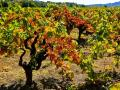 GRAPE VINES, AS THE HARVEST ENDS AND THE COLORS REFLECT THE FALL - NAPA, CALIFORNIA