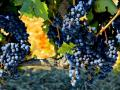 GRAPES WAITING TO BE PICKED AND PUT INTO NEW WINE SKINS - OLD WINE TURNS BITTER BUT NEW WINE REFRESHES - WHAT VINTAGE ARE YOU?