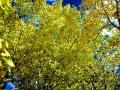 FALL ASPEN TREES, WITH TURNING LEAVES AGAINST A BRIGHT BLUE SKY, IS ONE OF MY FAVORITE AUTUMN SCENES