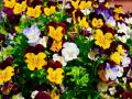 FLOWER BED OF PANSIES-'THE REPUBLICONS'-SHOULD ADOPT THESE FLOWERS AS THEIR OWN, AS THAT'S WHAT THEY ACT LIKE !