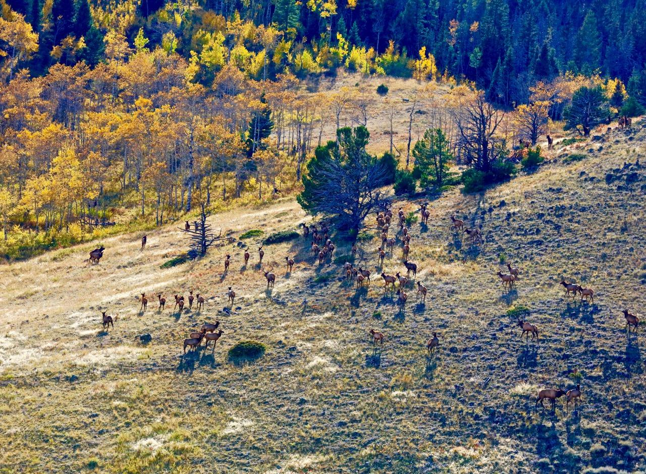 ELK IN THE HIGH COUNTRY-THEY ARE AMAZING AND REGAL ANIMALS